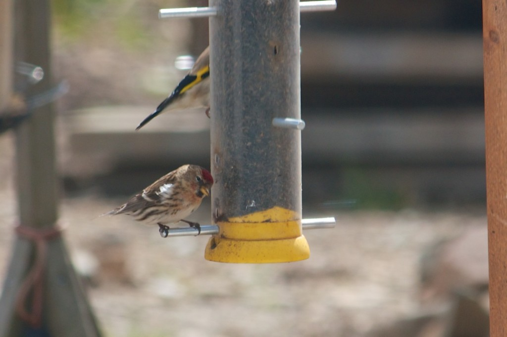 Our first Redpoll - April 2013