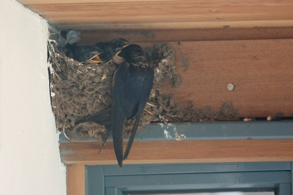 Feeding the young swallows