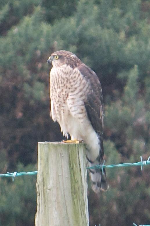 Sparrow Hawk on the fence - August 2013