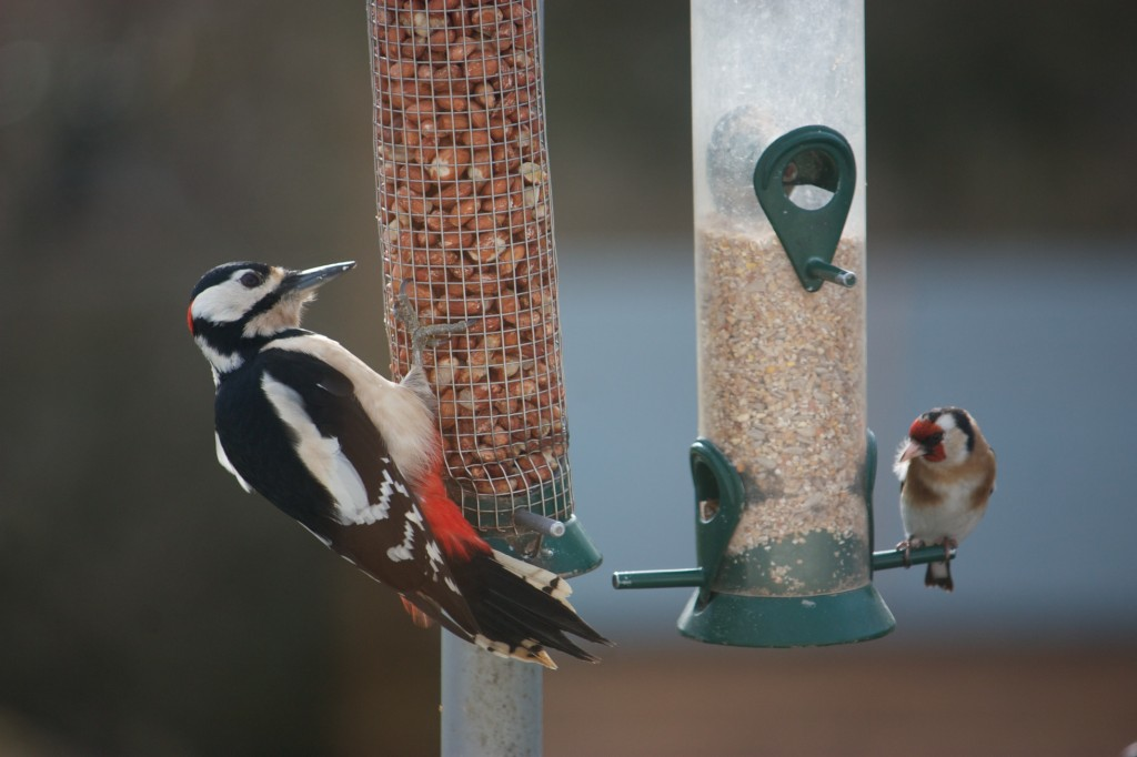 Woodpecker and Goldfinch