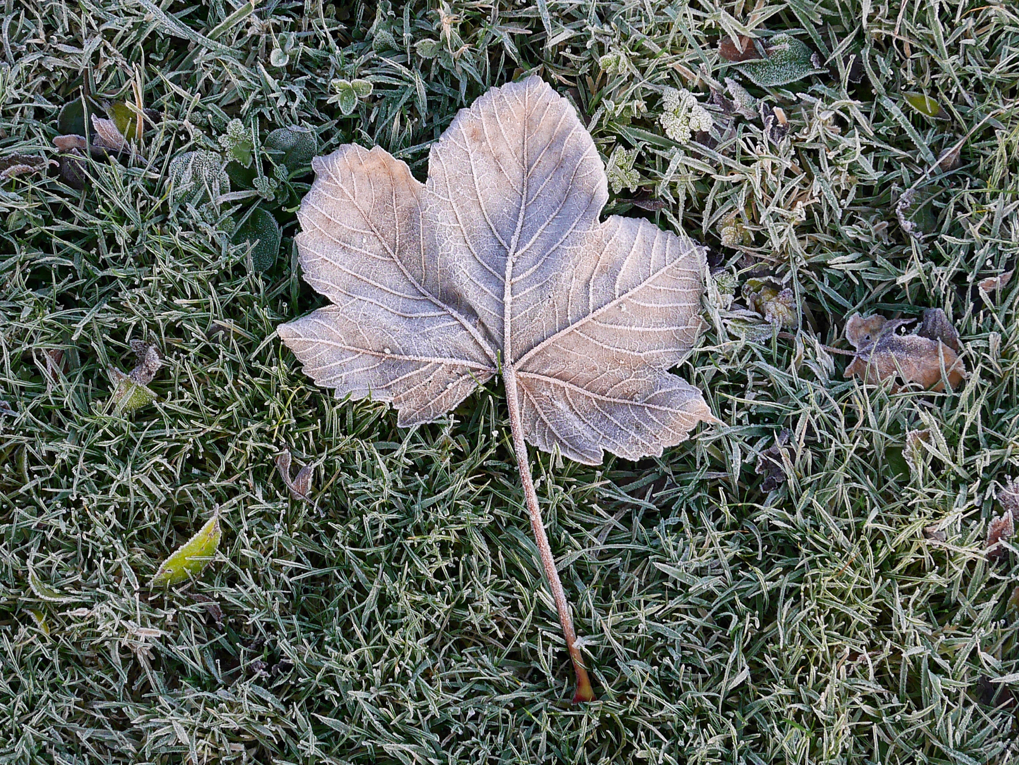 Frosty Sycamore