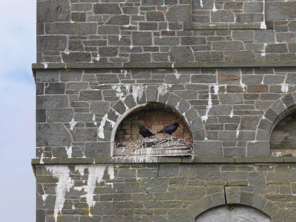 Ravens at the Coo Palace